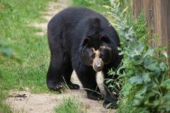 Spectacled медведь & x28; Ornatus& x29 Tremarctos; Стоковые Фотографии RF