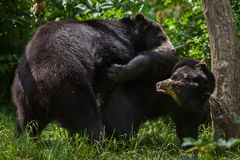 Spectacled медведь & x28; Ornatus& x29 Tremarctos; Стоковое Изображение RF