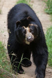 Spectacled медведь & x28; Ornatus& x29 Tremarctos; Стоковое Фото