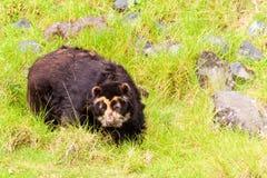 Spectacled одичалый андийский медведь Стоковая Фотография