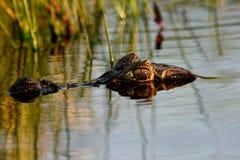 spectacled argentina caiman Royaltyfri Foto