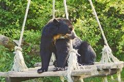 Spectacled Bär stockbilder