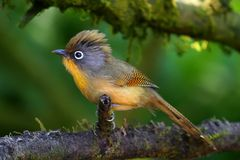Spectacled Barwing bird is on a tree in the forest. Spectacled Barwing shot at doilang national park Stock Photography