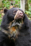 Spectacled Bear Stock Photo