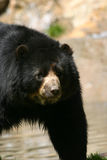 Spectacled bear royalty free stock photos