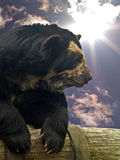 Spectacled bear. Outdoors in sunshine Royalty Free Stock Image
