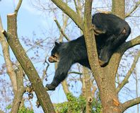 Spectacled Bear 15 Royalty Free Stock Images