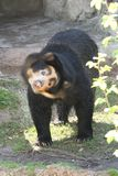 Spectacled Bear. A curious pose for this spectacled bear who just came out of the pool and was shaking the water from his coat stock image