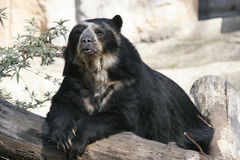Spectacled bear Royalty Free Stock Photo