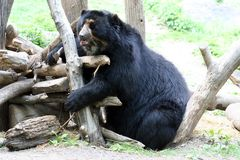 Spectacled Bear. Fun Time for a Spectacled Bear Stock Photography