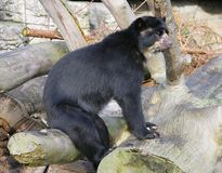Spectacled Bear 8 Royalty Free Stock Image