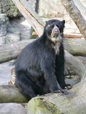 Spectacled Bear 9 Royalty Free Stock Image