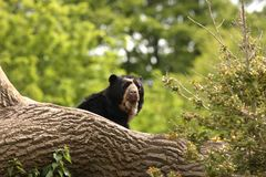 Spectacled Bear Stock Images