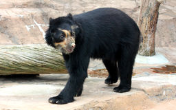 Spectacled bear or Andean bear is endemic bear to South America stock photography