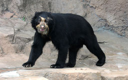 Spectacled bear or Andean bear is endemic bear to South America. It`s also the only bear in South america stock photos