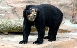 Spectacled bear or Andean bear is endemic bear to South America stock images