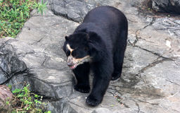 Spectacled bear or Andean bear is endemic bear to South America royalty free stock images