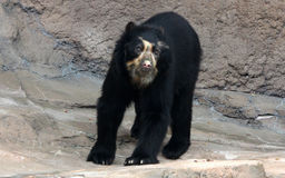 Spectacled bear or Andean bear is endemic bear to South America royalty free stock photography
