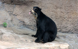 Spectacled bear or Andean bear is endemic bear to South America stock image