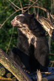 Spectacled bear Royalty Free Stock Photography