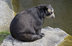 Spectacled bear 4 Royalty Free Stock Image