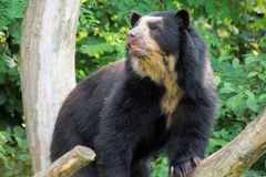 Spectacled Bear stock photography