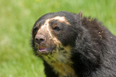 Spectacled Bear portrait Royalty Free Stock Photos