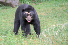 Spectacled bear portrait while looking at you. Sudamerica spectacled bear portrait while looking at you Royalty Free Stock Image