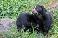 Spectacled bear portrait while looking at you Royalty Free Stock Photo