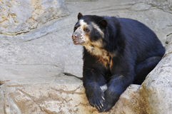 Spectacled bear on rocks Stock Photos