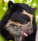 Spectacled Bear's face Royalty Free Stock Photos