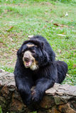 Spectacled bear Tremarctos ornatus Royalty Free Stock Image