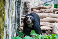 Spectacled bear walking in front of trees. A spectacled bear walking around with trees in the backgroud Stock Photo