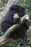 spectacled björn Royaltyfri Foto