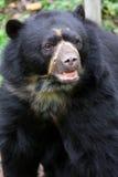spectacled björn Royaltyfri Bild