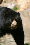 spectacled björn Royaltyfria Foton