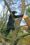 spectacled björn 14 Arkivbild