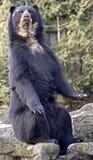 spectacled björn 2 Arkivbild