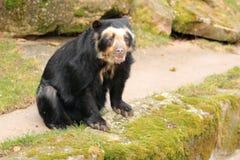 spectacled björn Arkivbild