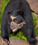 spectacled björn Fotografering för Bildbyråer