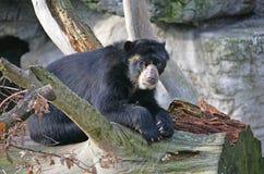 spectacled björn 7 Arkivfoton