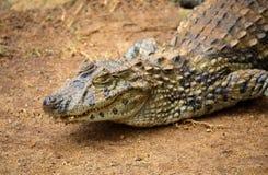 Spectacled caiman или общий белый конец-вверх crocodilus Caiman caiman на песочной области Стоковая Фотография