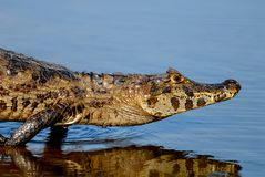 Spectacled caiman Royalty Free Stock Images