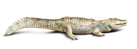 spectacled caiman Arkivfoton