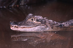 Spectacled caiman Royalty Free Stock Image