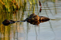 Spectacled Caiman,Argentina. A partially submerged caiman with eye reflected in the water.Esteros Del Ibara,Argentina Royalty Free Stock Photo