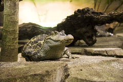Spectacled caiman (Caiman crocodilus). In Montpellier Zoo royalty free stock photography