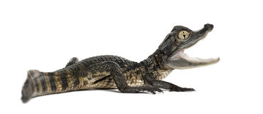 Spectacled Caiman, Caiman crocodilus Stock Image