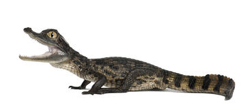 Spectacled Caiman, Caiman crocodilus Stock Photos