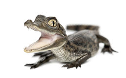 Spectacled Caiman, Caiman crocodilus. Also known as a the White Caiman or Common Caiman, 2 months old, portrait against white background royalty free stock images